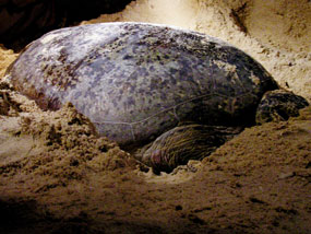 Il borneo malese for Deposizione uova tartarughe terrestri