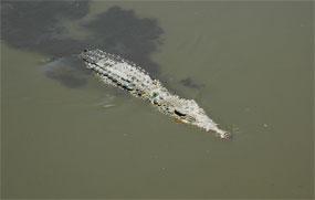 coccodrillo cuba