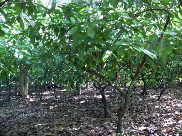 Piante Di Cacao : Ilhéus e le fazendas del cacao